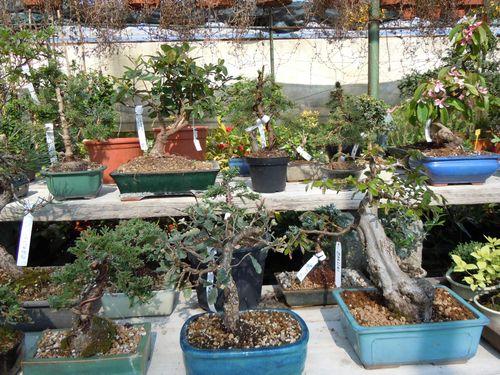 Preparazione stagionale dei bonsai Vivaio15