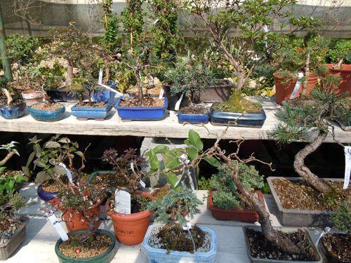 Preparazione stagionale dei bonsai Vivaio16