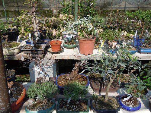 Preparazione stagionale dei bonsai Vivaio17