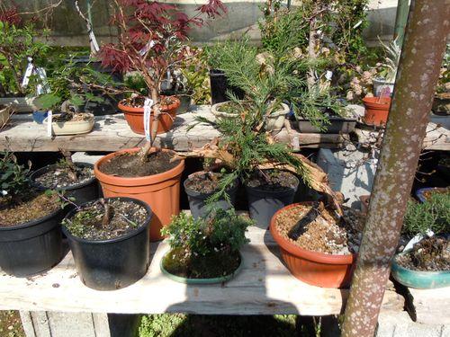 Preparazione stagionale dei bonsai Vivaio18