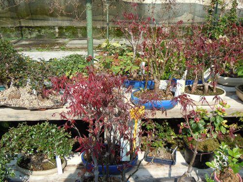 Preparazione stagionale dei bonsai Vivaio19