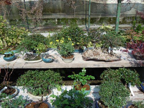 Preparazione stagionale dei bonsai Vivaio20