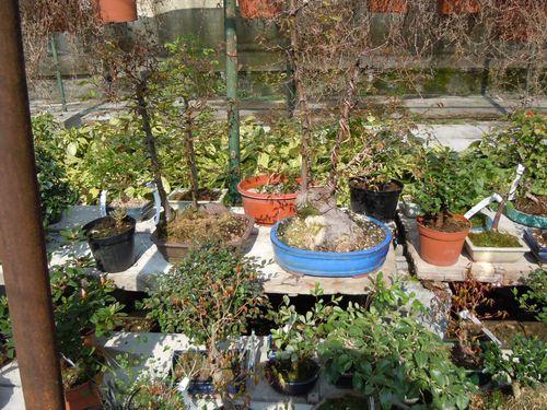 Preparazione stagionale dei bonsai Vivaio22