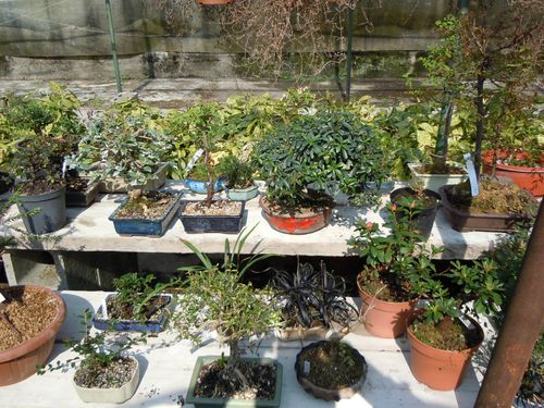 Preparazione stagionale dei bonsai Vivaio23
