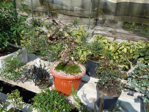 Preparazione stagionale dei bonsai Vivaio25