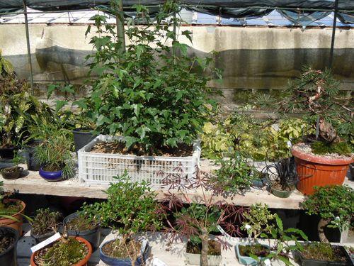 Preparazione stagionale dei bonsai Vivaio26