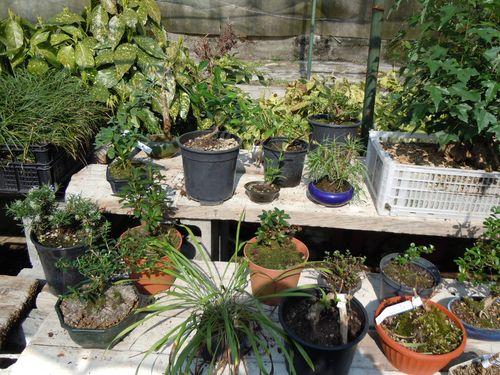 Preparazione stagionale dei bonsai Vivaio27