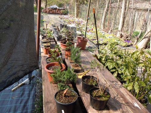 Preparazione stagionale dei bonsai Vivaio28