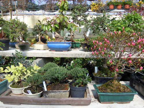 Preparazione stagionale dei bonsai Vivio610