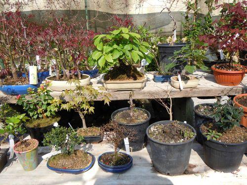 Preparazione stagionale dei bonsai Vviaio10
