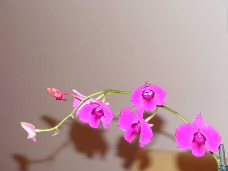 [ROZWIĄZANE] Dendrobium Phalaenopsis NOID Dendro10