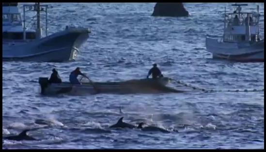 du secours pour arrêter le massacre des dauphins 25133910