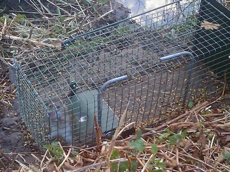 Piégeage Rats, Rats musqués et Ragondins ... Image_14