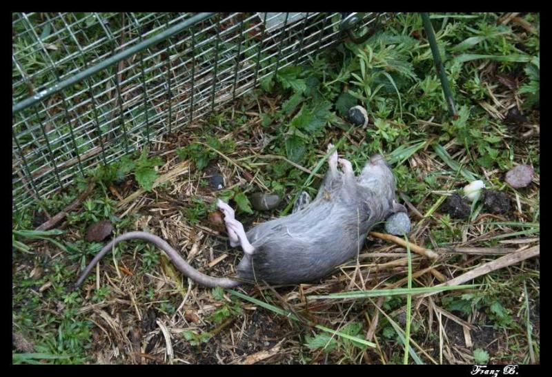 Piégeage Rats, Rats musqués et Ragondins ... Img_6619