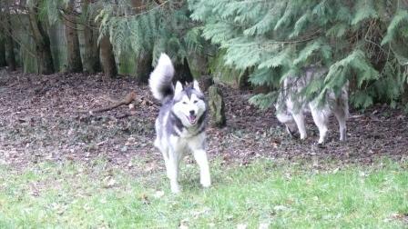 Les Loups du 51 adoptés grâce à vous... P1050210