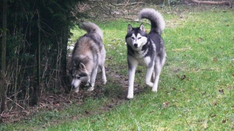 URGENT AÏTA  femelle husky 4ans PAR (83) ADOPTEE P1050312