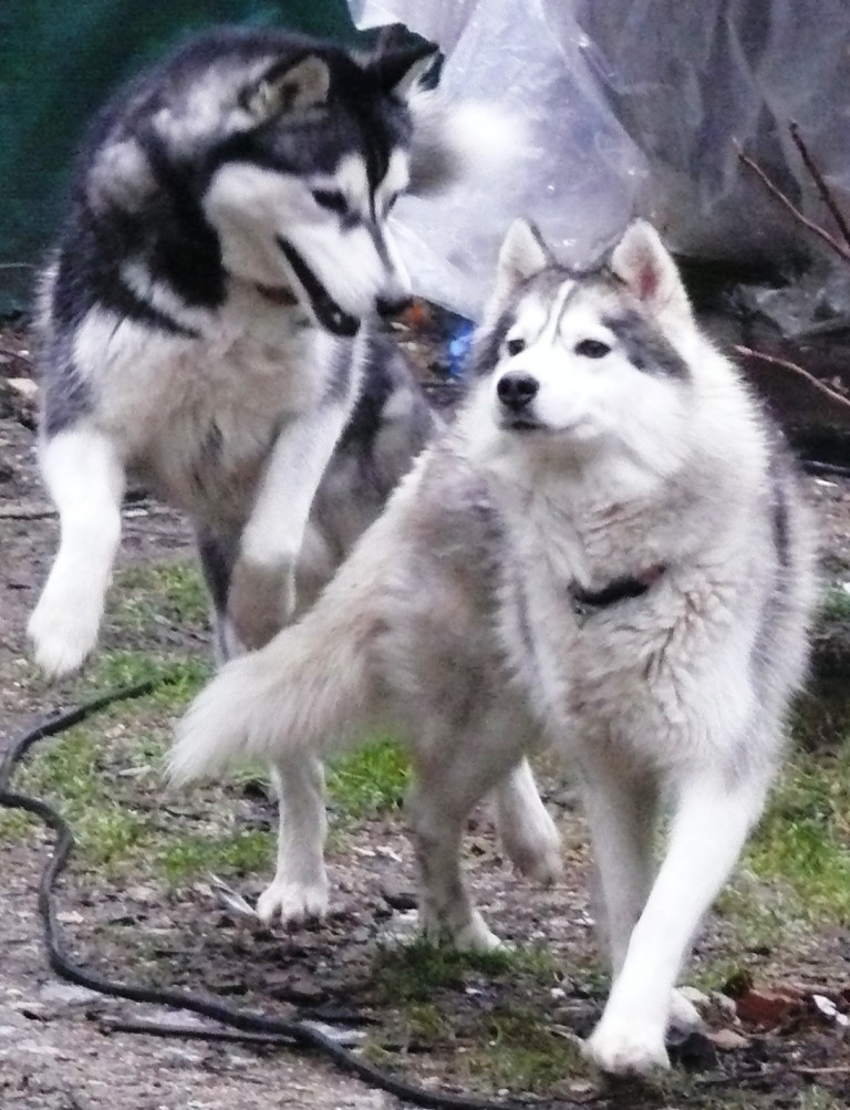 URGENT AÏTA  femelle husky 4ans PAR (83) ADOPTEE P1050313