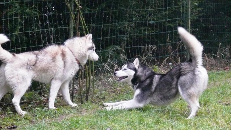 Les Loups du 51 adoptés grâce à vous... P1050315