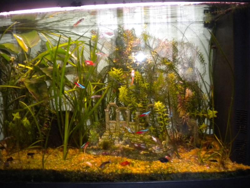mes  aquariums de 100 et 200 litres Dscn0714