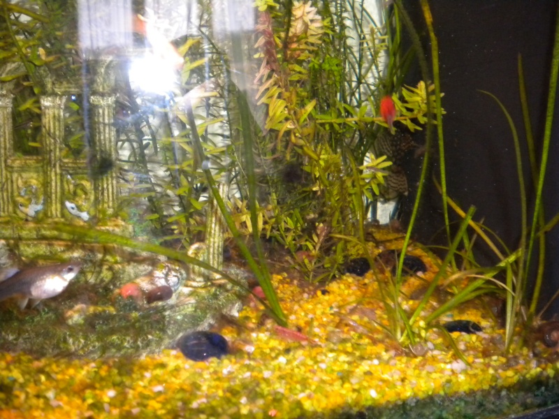 mes  aquariums de 100 et 200 litres Dscn0715