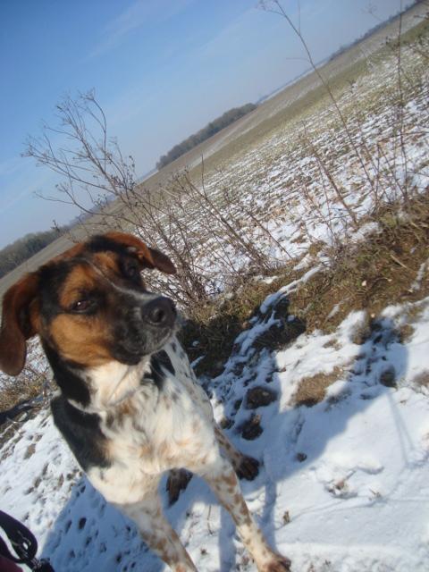 ALTO, croisé beagle/épagneul mâle, 1 an (80) Dsc04114