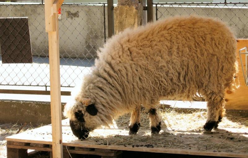 Thônes et Marthod et moutons de jacob 11328910