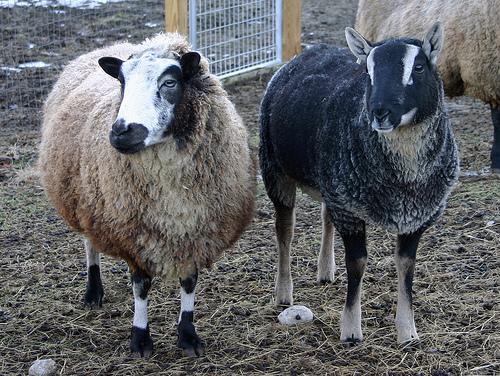 collection de moutons - Page 2 30799910