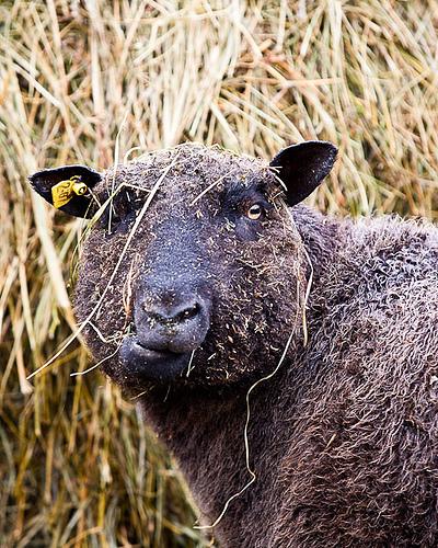 collection de moutons - Page 2 35031310