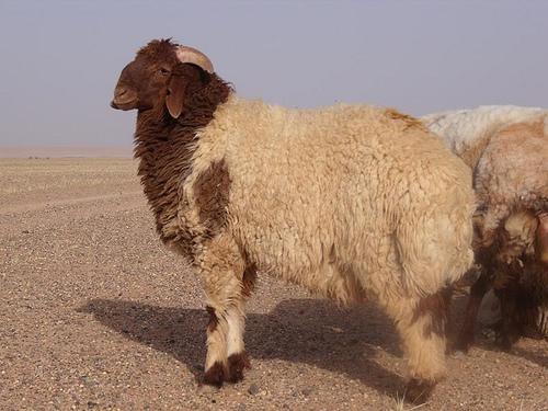 collection de moutons - Page 2 35957710