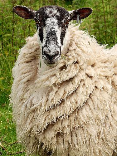 collection de moutons - Page 2 60266510