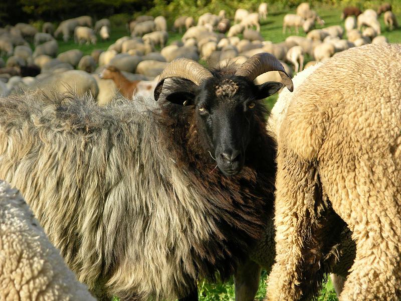 collection de moutons 70106110