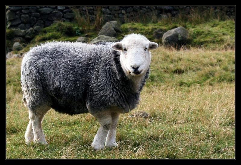 collection de moutons 70791610