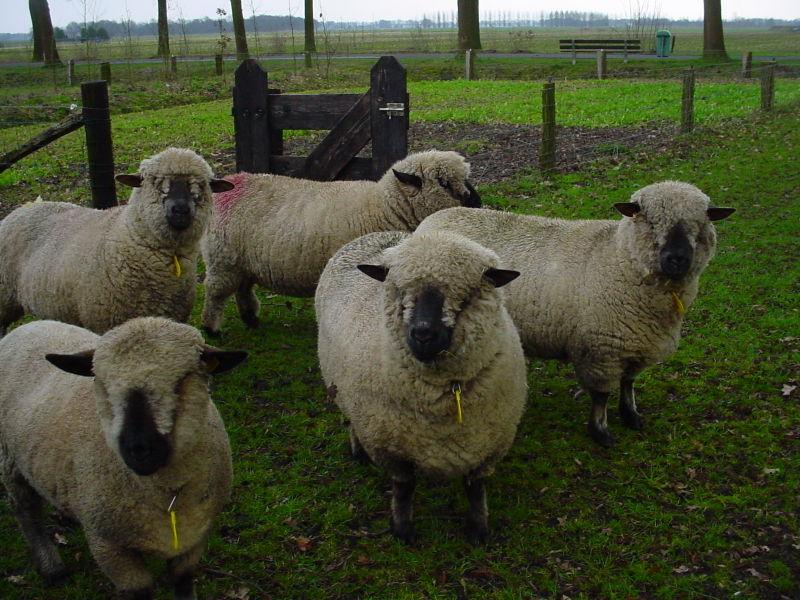Thônes et Marthod et moutons de jacob 800px-14