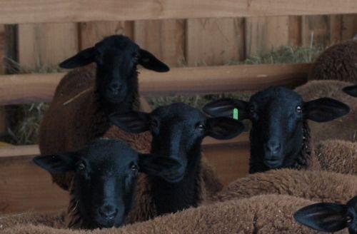 collection de moutons - Page 2 Agnell10