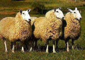 collection de moutons - Page 2 Border10
