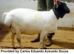 collection de moutons - Page 2 Brazil10