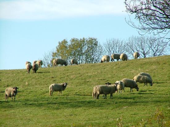 Fete de la Neira à Allègre en Haute Loire 43 Brebis12