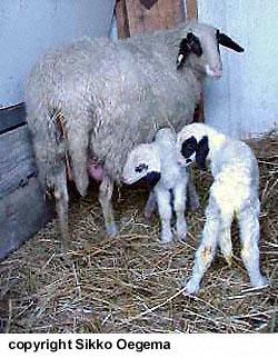 collection de moutons - Page 2 Brille10