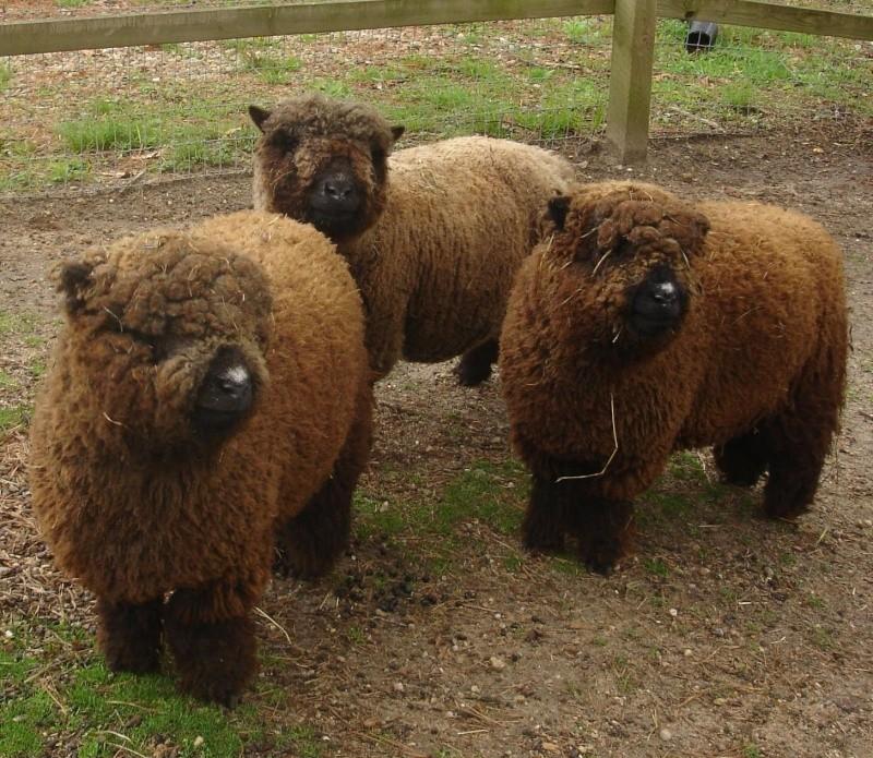 les Baby Dolls Sheep Cocos010