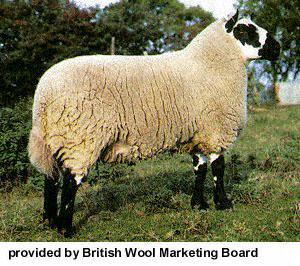 collection de moutons - Page 2 Kerryh10