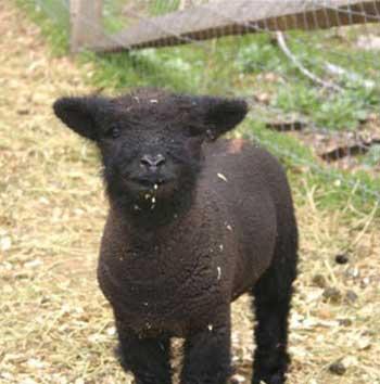 les Baby Dolls Sheep Lamb6210