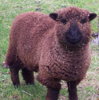 les Baby Dolls Sheep Pompom10