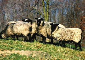 collection de moutons - Page 2 Romano10