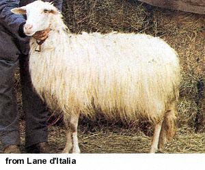 collection de moutons - Page 2 Sarda110