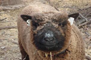 les Baby Dolls Sheep Sheepl10