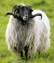 collection de moutons - Page 2 Tempx310