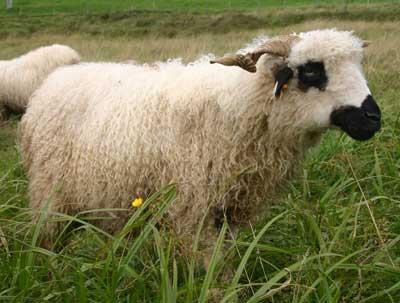 collection de moutons Valine10
