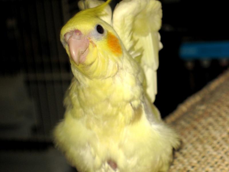 Un cockatiel comme nouvel ami ma perruche Img_4210