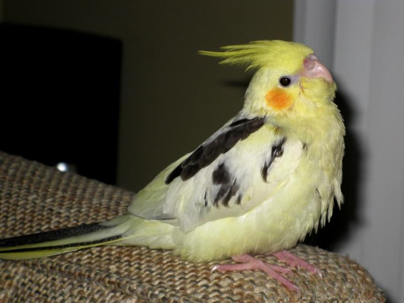 Un cockatiel comme nouvel ami ma perruche Img_4211