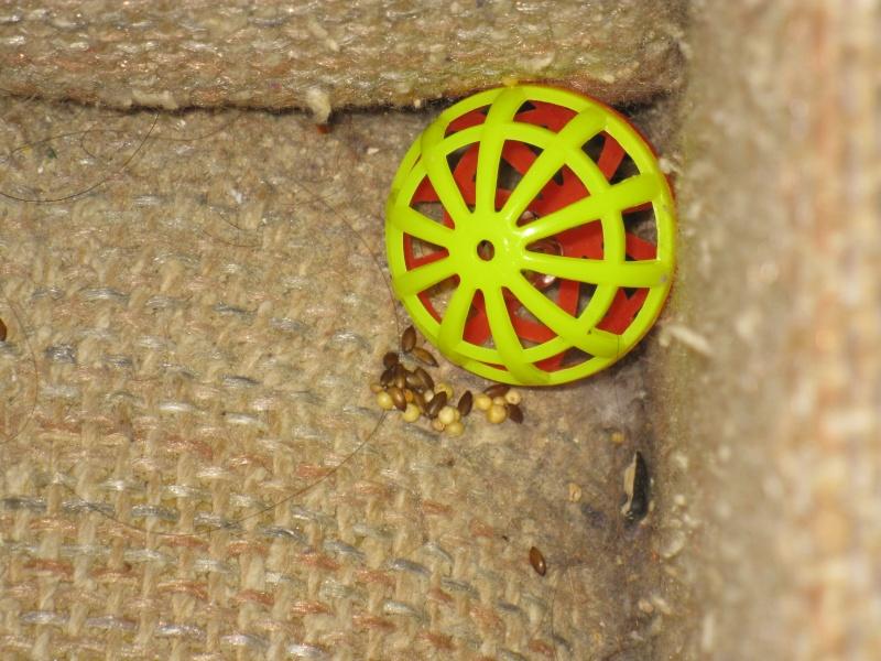 Régurgiter des graines sur ses jouets...?! Img_4311